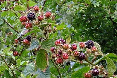 Blackberries in Radford Bank Meadows, photo by Tim Wayne