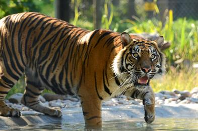 Sumatran Tiger in Water