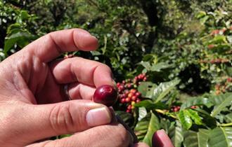 Coffee being picked fresh of the bush