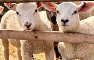Lamb week @ Lower Drayton Farm