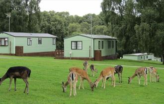 Silver Trees Holiday Park is surrounded by deer